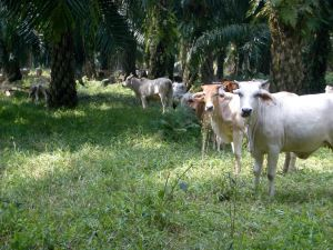 cattle palm 2