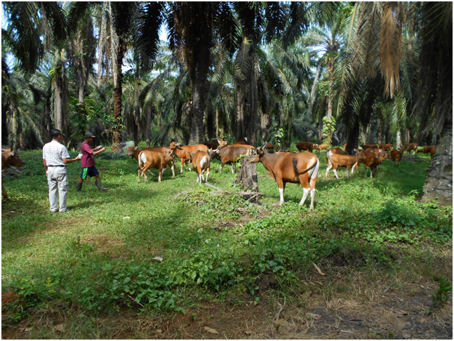 Bali cattle grazing under oil palm trees in East Kalimantan