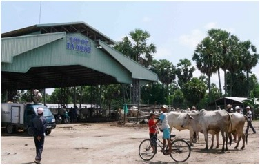 The official border-crossing sale yard at Ta Ngao at Tinh Bien, An Giang province, the largest cattle market in the Mekong delta, selling about 5000 head per month.