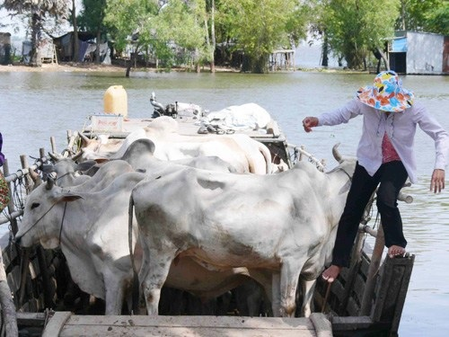 "Cattle shipping Cambodian style – crossing the Mekong Delta tributaries – Grey cattle travelling on the ""grey route"" from Cambodia to Vietnam. No duties, no taxes, no vaccinations, no worries."