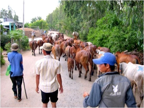 "Cattle on the road in the border area travelling the ""grey route"". No waybill book required here."