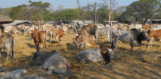 All cattle are halter led and individually cared for by their Myanmar stockman who is responsible for 8 to 10 head per man.