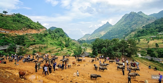 The Can Cau weekly cattle and buffalo market in the Lao Cai province on the Vietnamese/China border to the North West of Hanoi. This is not an official entry point for Chinese stock with the risk of importing Foot and Mouth Disease a major concern of Vietnamese veterinary authorities. Photo source : Thanh Nien News.
