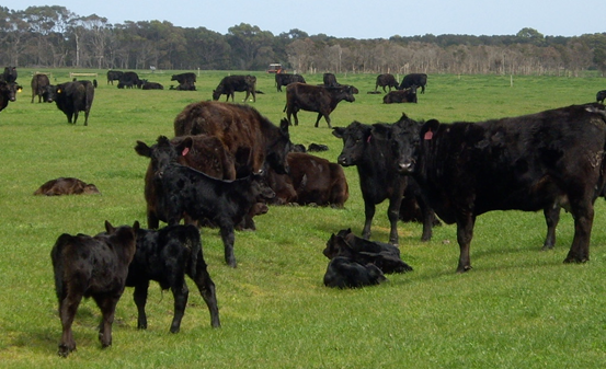 Australia is really only one cattle production market regardless of whether you are located on King Island, above, or Alice Springs below.