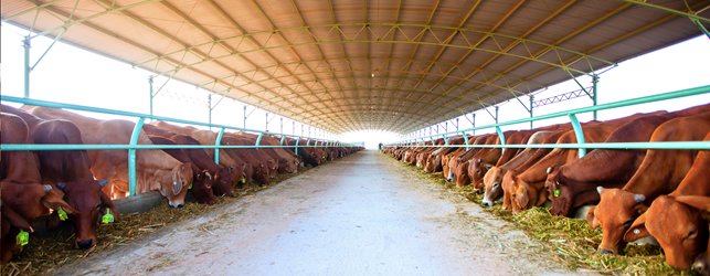 Photo: From the HAGL web site – the Gai Lai feedlot in central Vietnam – filled with Aussie cattle.