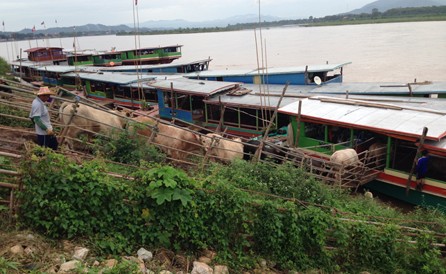 Thai cattle loading onto Lao riverboats for export to Myanmar then China. July 2014