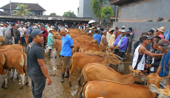 Local farmers buying and selling Bali cattle weaners at the Beringkit market. Young stock are sold per head and were fetching Rp. 8-9 million (AUD$800-900)