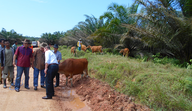 Northern Territory Minister of Agriculture Hon. Willem Westra van Holthe (white shirt) and NT Indonesian Consul Pak Andre Siregar(red and blue bull rider batik rodeo shirt) having a photo opportunity with the lead Bali cow of a group of cattle grazing under oil palm trees in East Kalimantan.