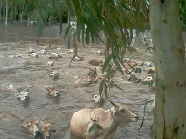 Burmese cattle escaping recent monsoonal flood waters.