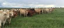 """Heavy ox on Ian and Kate McCamley's property """"Lowesby"""" near Rolleston, Queensland"""