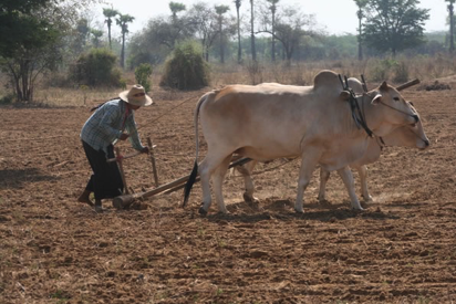 The Burmese beef cattle genetics are relatively good as farmers need to breed big, strong cattle to help them get their work done.