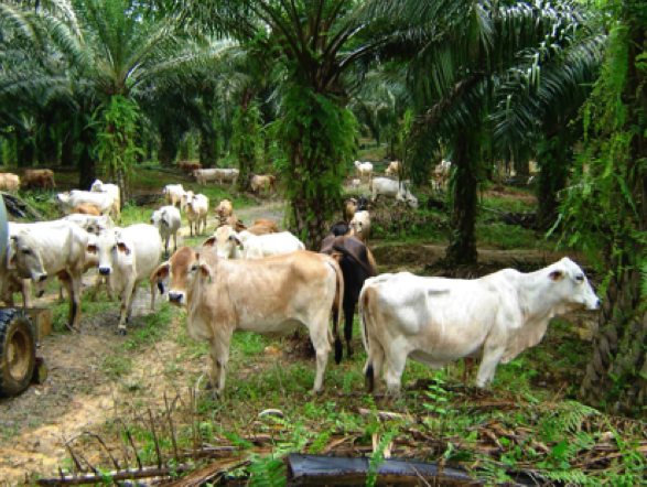 The native grasses which grow under oil palm trees are ideal cattle feed.