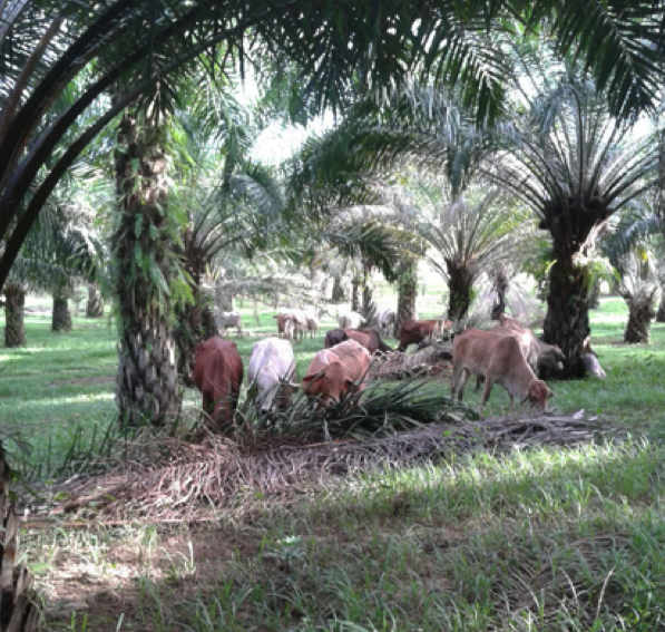 Greg Smith's photo of Australian breeders grazing under palm, February 2016 in East Kalimantan.