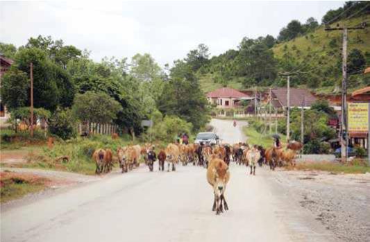Ternak di Provinsi Vientiane_ Artikel Juli 2018