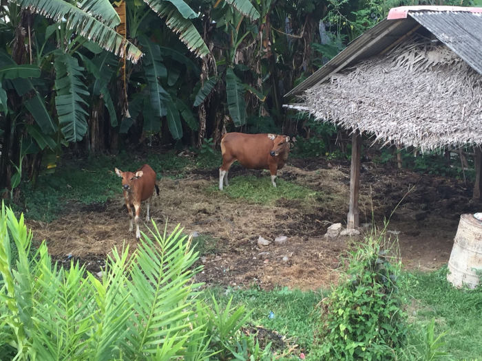 Pic3_Bali Cattle