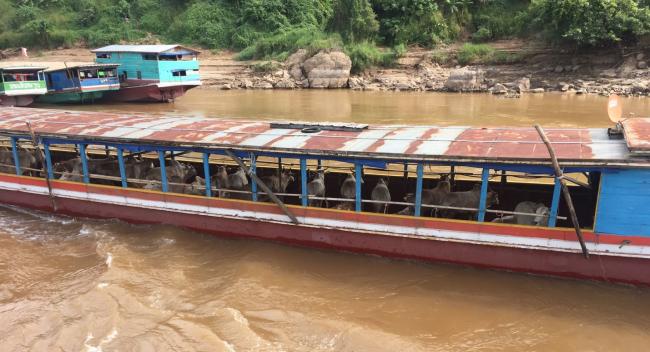 Pic6_Slaughter Cattle via Mekong