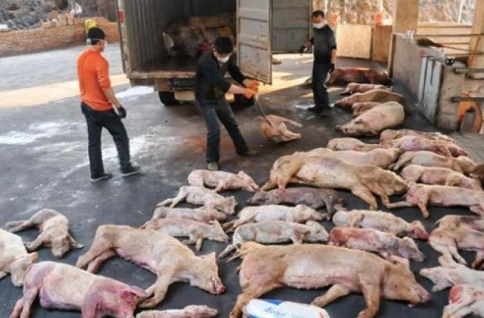 Picture5_Dead Pigs across China