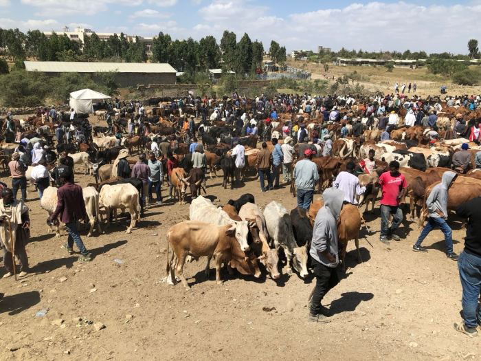 Photo13_Ethiopia has Africa's largest cattle population