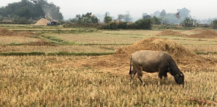 Pic7_Livestock in Myanmar