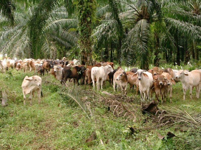Photo2_Growers grazing under palm