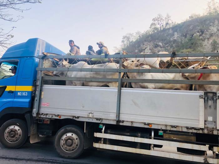 Pic2_Burmese Cattle